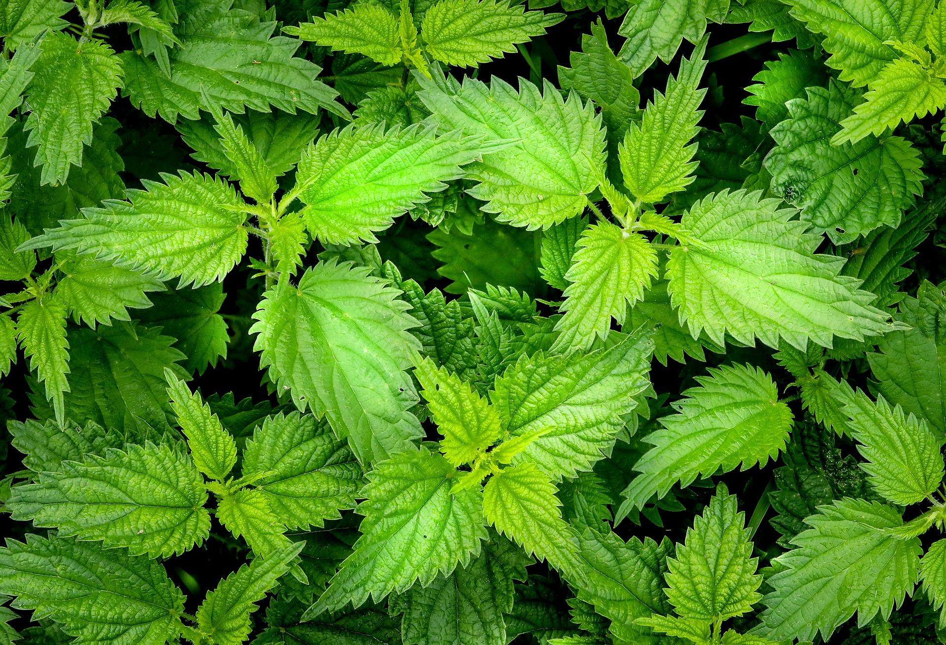 Nettle herb for horses