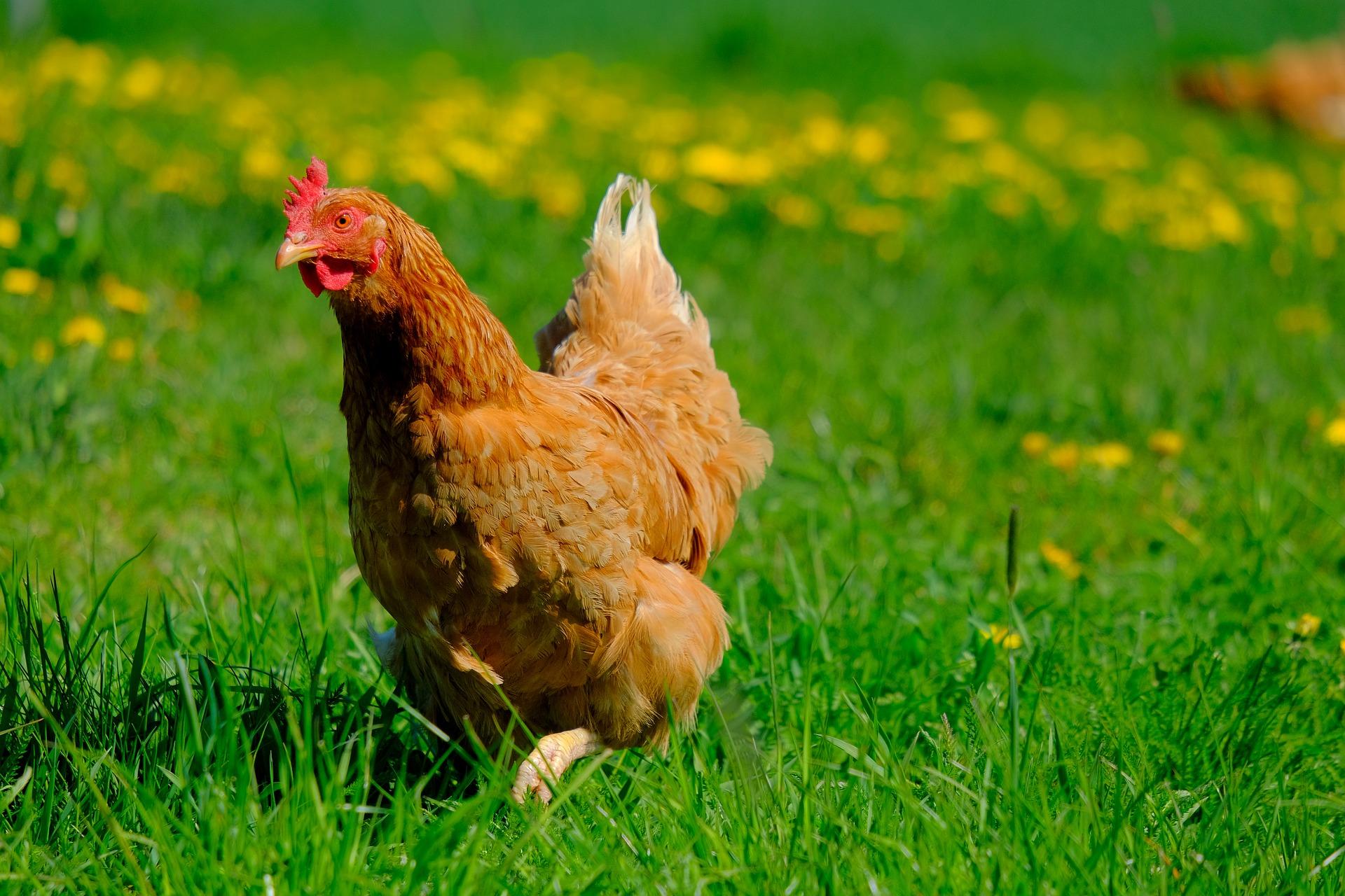 Enrichment for chickens, chicken enrichment, enrichment for chicken coops