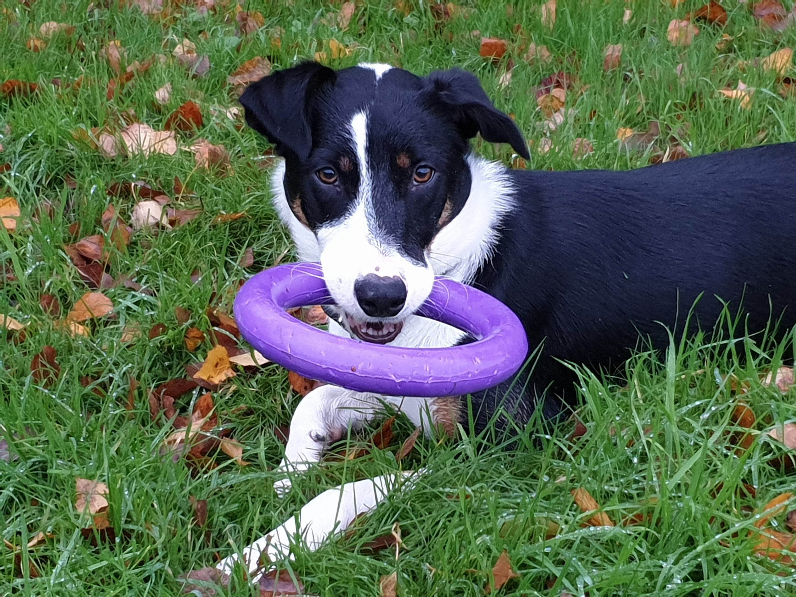 Dog training, Puller dog toy