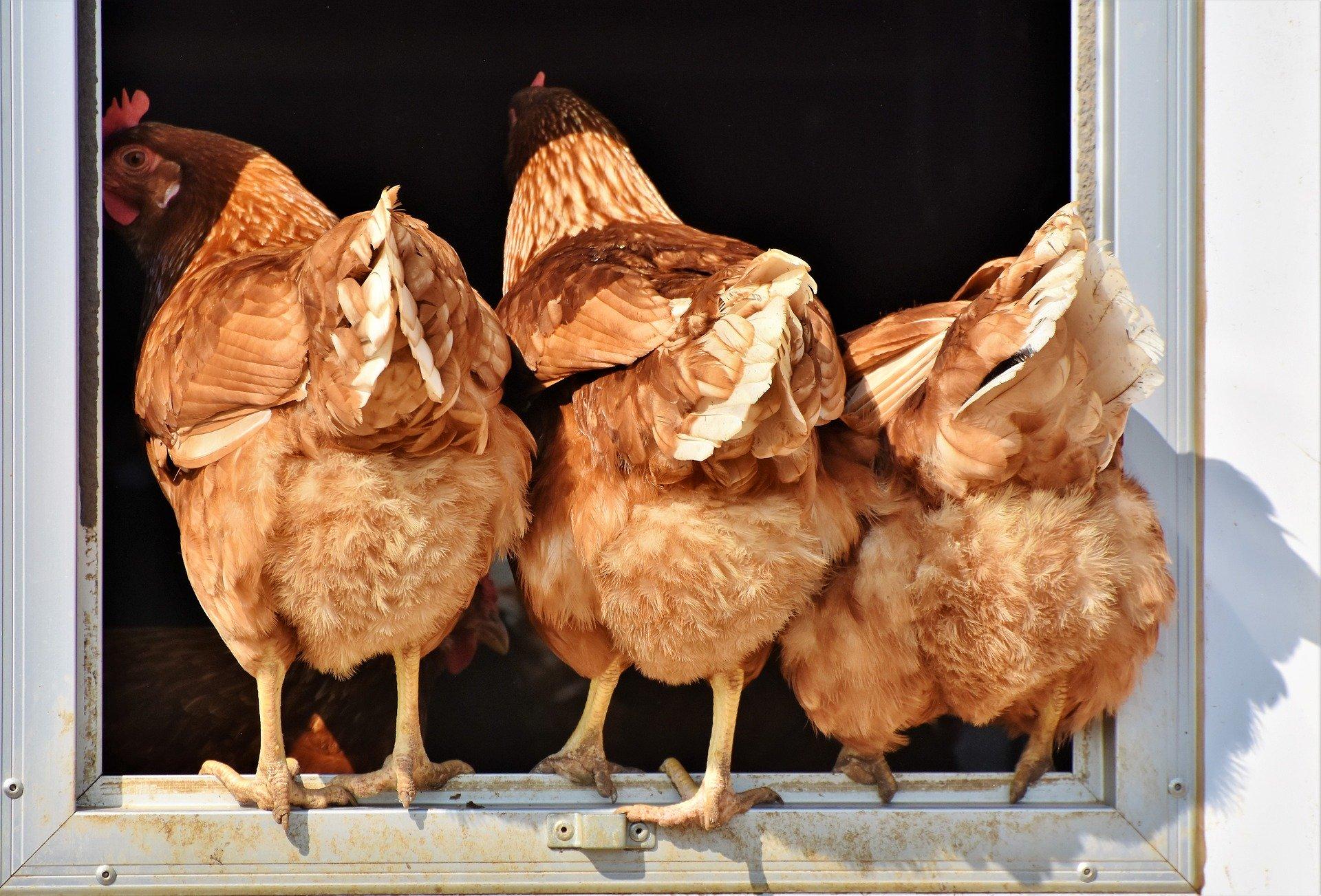 Chicken grit, chicken feed, pet chickens, rescue hens