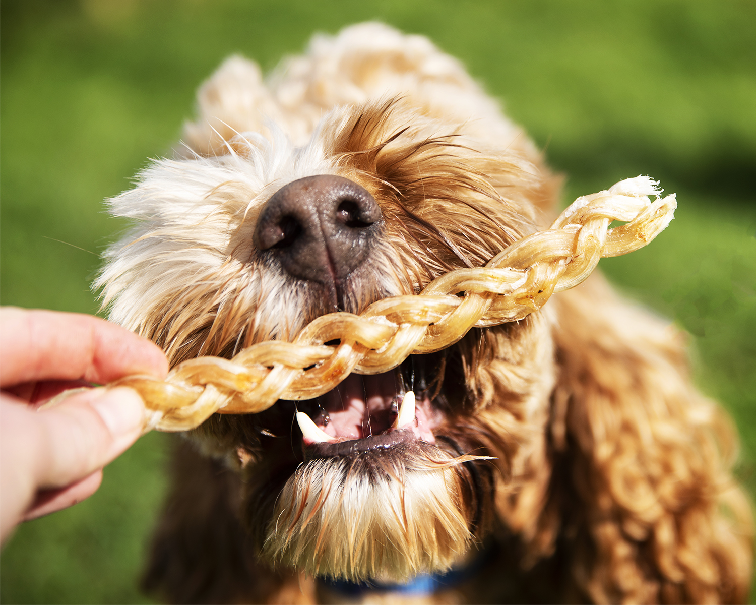 ostrich chew for dogs, braided ostrich tendon, natural dog chew, long lasting dog chew